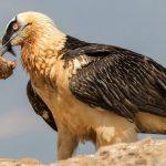 Cazorla acoge crías de quebrantahuesos francesas y del Pirineo catalán